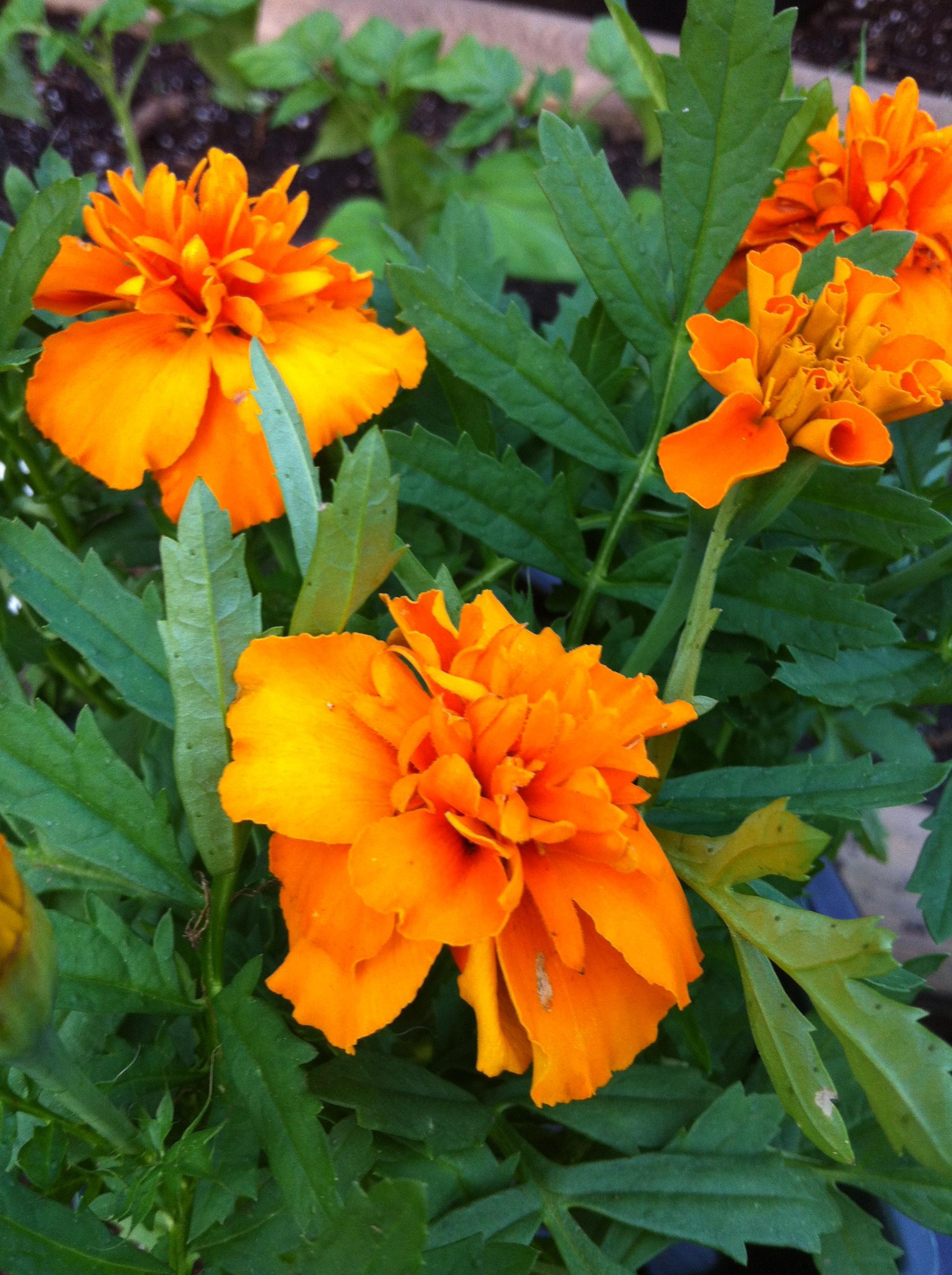 The Marigold Tarot Major Arcana The: 31 Days. 31 Flowers. Teaching Kids About The Marigold