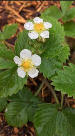 ~ Strawberry Blossoms in Audrey's garden ~