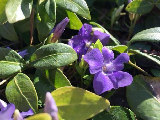 ~ Periwinkle in Audrey & Matt's garden ~