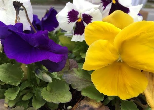 ~ My front wall Pansies ~