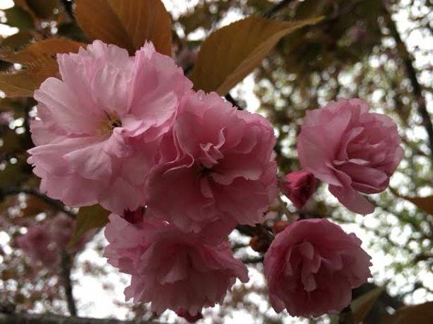 ~ Cherry Blossoms in Audrey & Matt's front yard ~