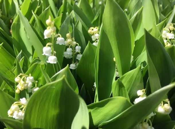 ~ Lilies of the Valley in a garden in Bristol, RI ~