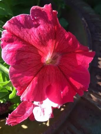 ~ A pot of Petunias in my garden, rescued from a $5.00 clearance shelf at Lowe's! ~