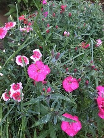~ Pinks/Sweet William in one of our gardens on a dewy May morning, the day our 12th grandbaby, a girl named Eve Sharon, was born! ~