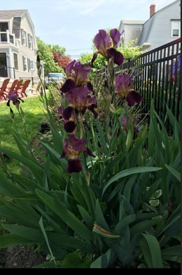 ~ Irises that bloomed yesterday ~