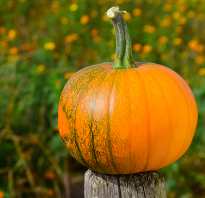 How to Prevent Animals from Eating your Pumpkins